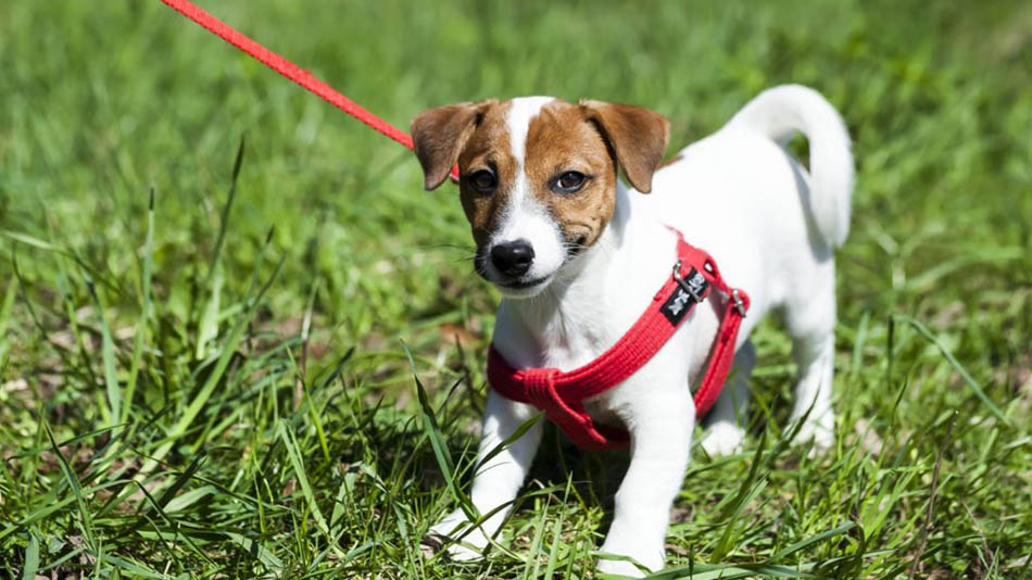 Best Dog Harness: Reviews and Buying Guide